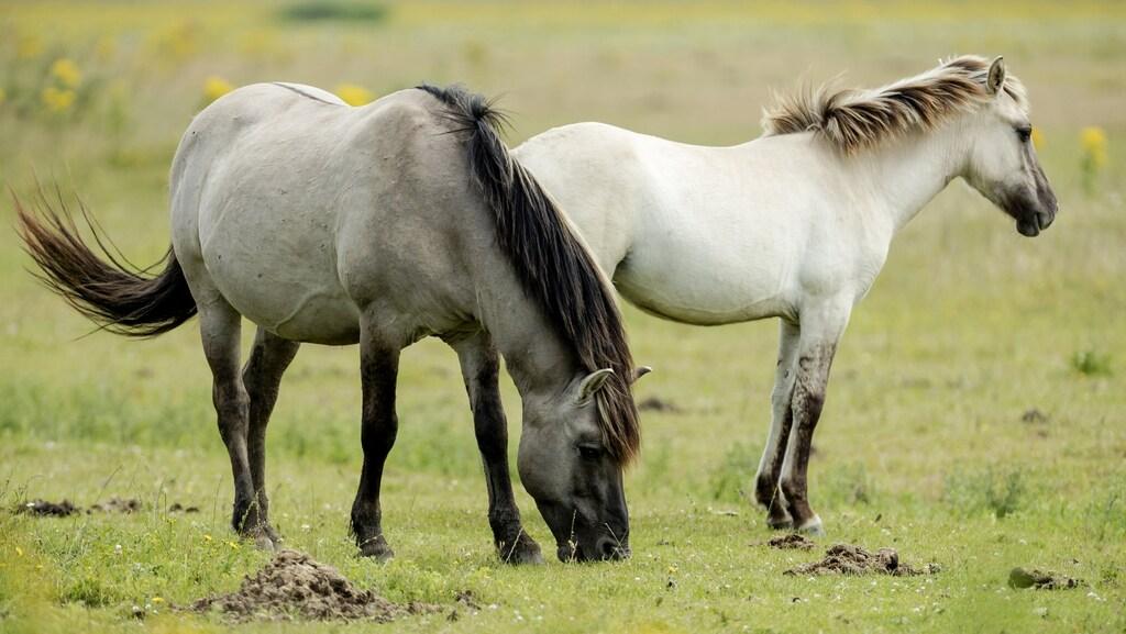 Een deel van de paarden wordt verplaatst.