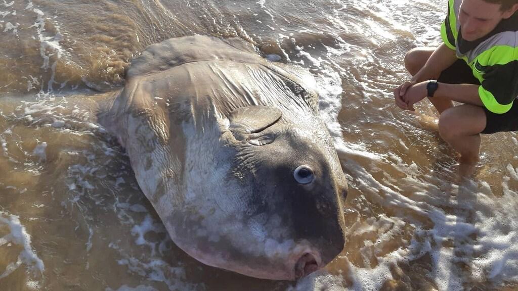 De vis kan tot twee meter lang worden.