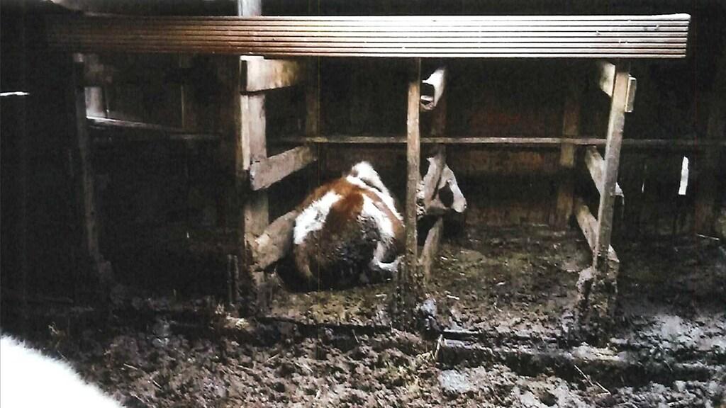 Het stro waar de koe in ligt is vies