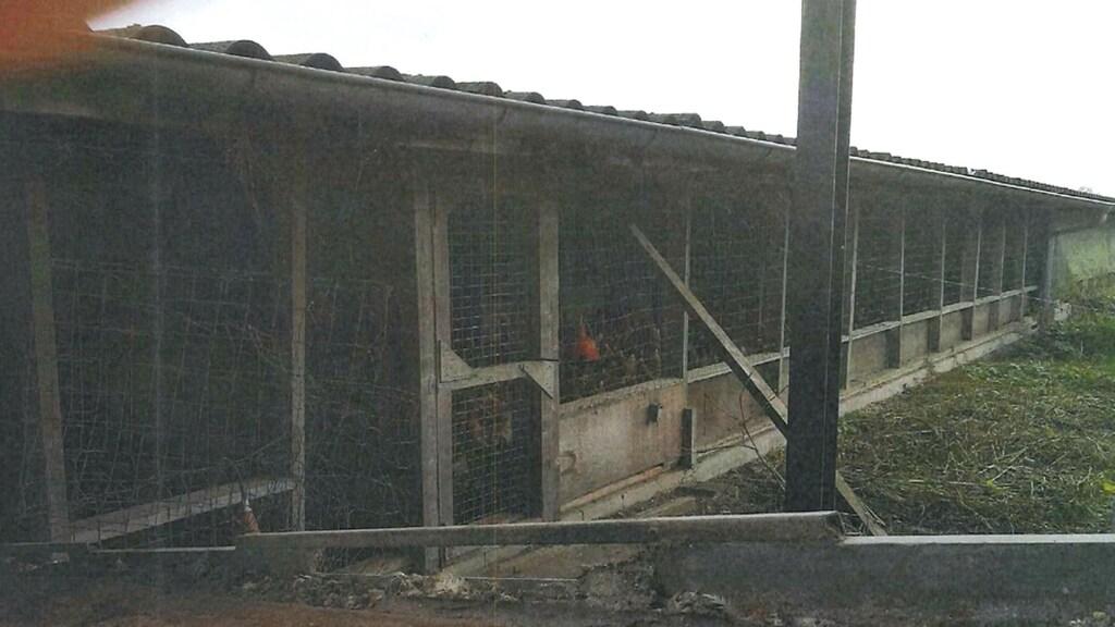De kippen bij deze boer kunnen niet naar buiten, maar zouden dat wel moeten