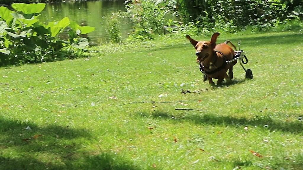 Bentley rent achter zijn bal aan.