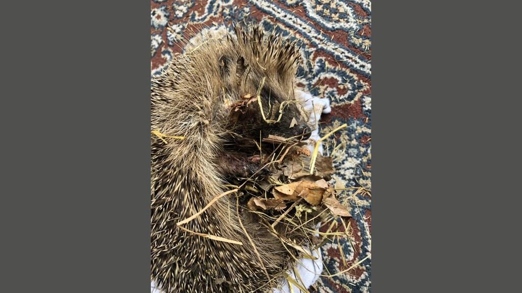De egel die in de tuin van Mirjam werd gevonden.