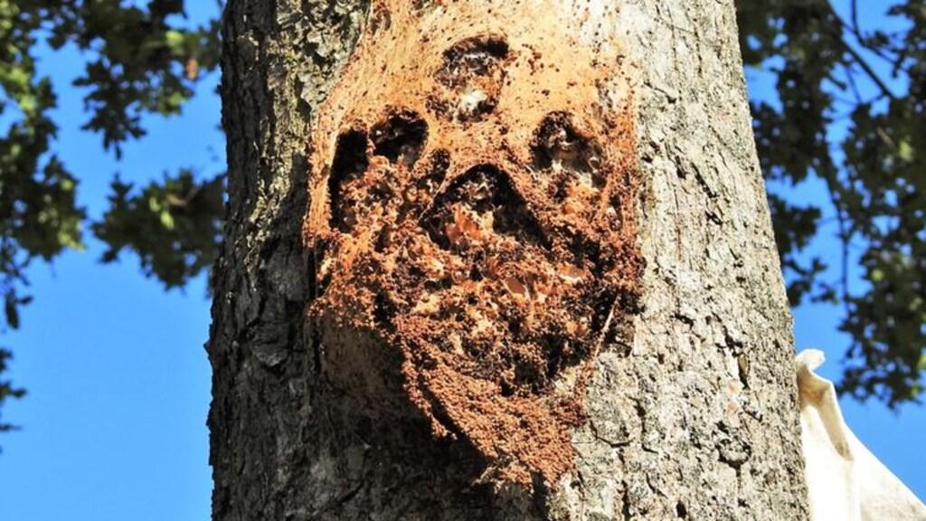 Dit nest van de eikenprocessierups is leeg gegeten door vogels en insecten