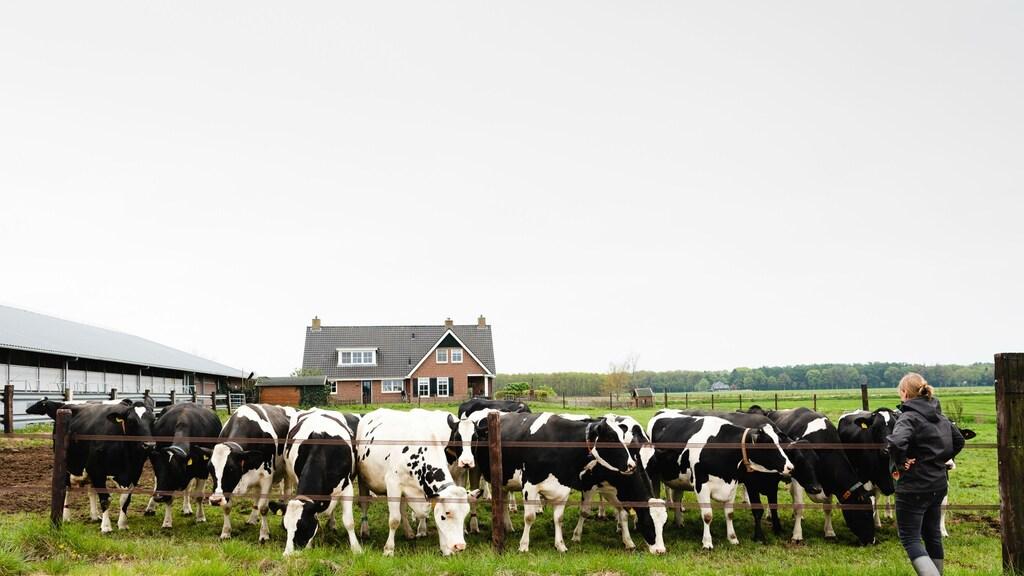 Dorien en haar koeien.