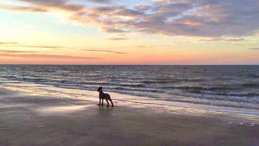 Hond Fenn bij de zonsopkomst in Zoutelande.