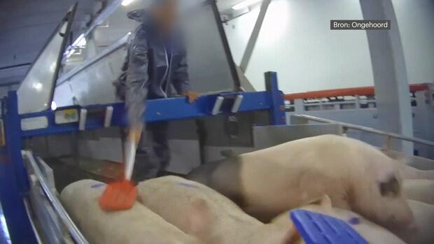 Undercoverbeelden slachthuis: varkens hard geslagen en aan staart weggesleept