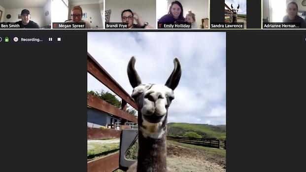 Je kunt nu tegen betaling een geit of lama laten deelnemen aan je videovergadering