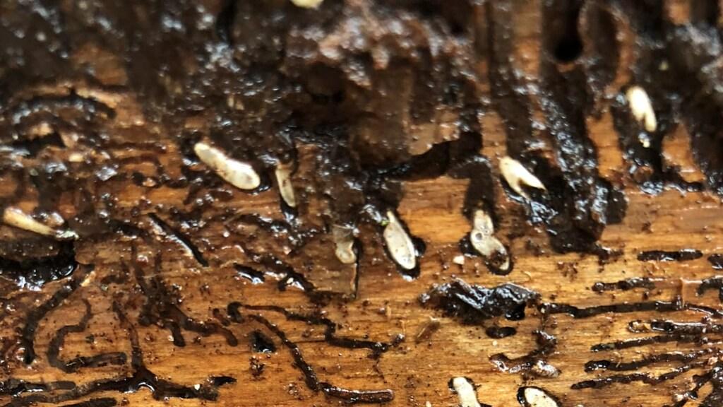 Het gangenstelsel van de letterzetter onder de boomschors, met daarin larves van de kever.