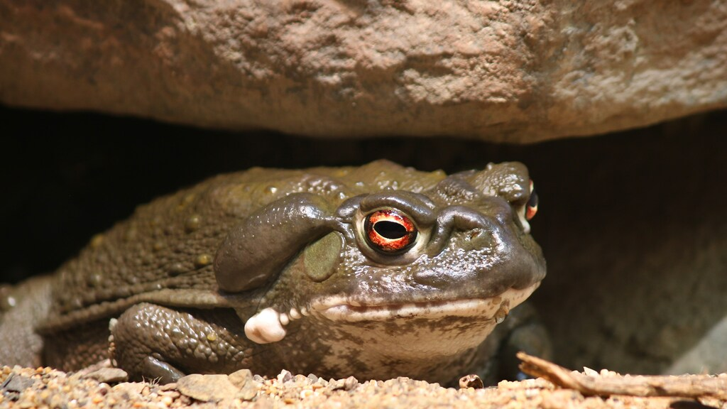 De Incilius alvarius, ook wel bekend als de coloradopad.