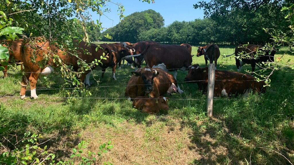 De koeien van Marleen liggen lekker in de schaduw.