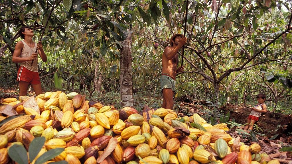 Werk op een cacaoplantage in Brazilië