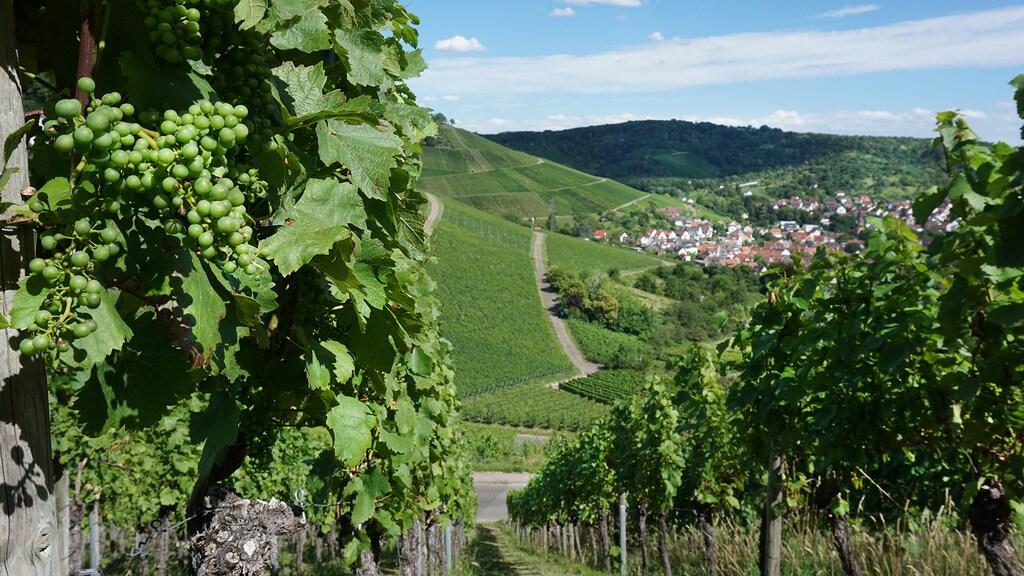 Wijngaard in Rotenberg, een stadsdeel van Stuttgart.