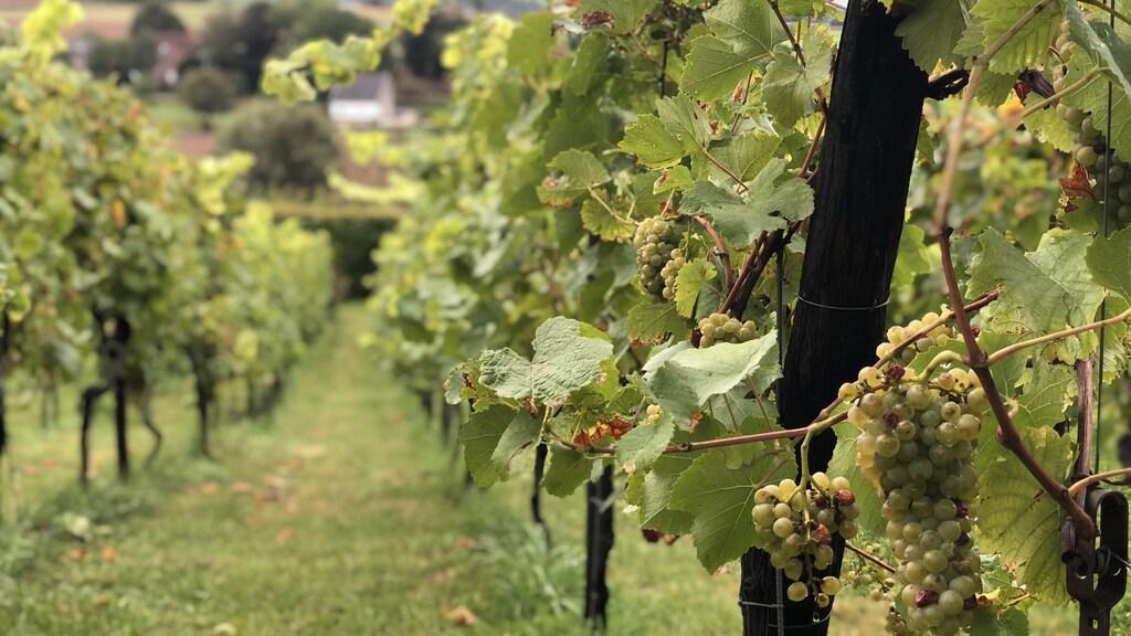 Een van de Limburgse wijngaarden waar het parcours doorheen loopt