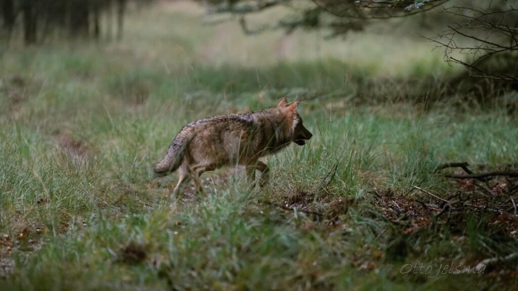 Een wolf in de Nederlandse natuur. Mensen zijn niet banger geworden nu het roofdier terug is.