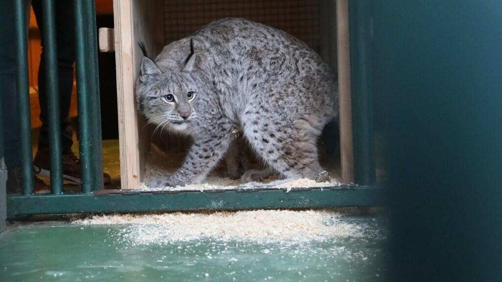 Een lynx kijkt nog even de kat uit de boom voor hij zijn nieuwe verblijf inloopt.