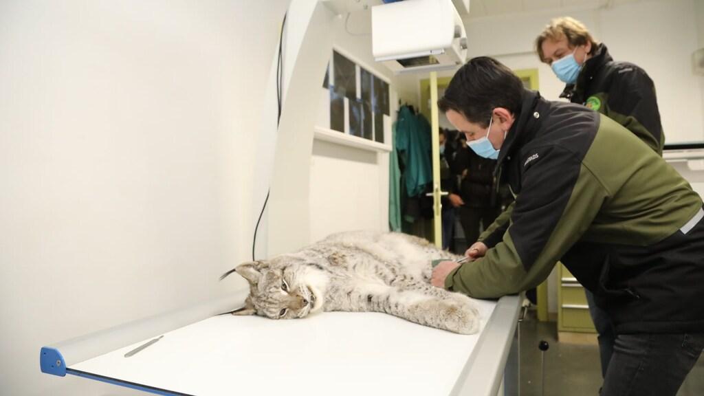 Alle lynxen zijn bij aankomst onderzocht