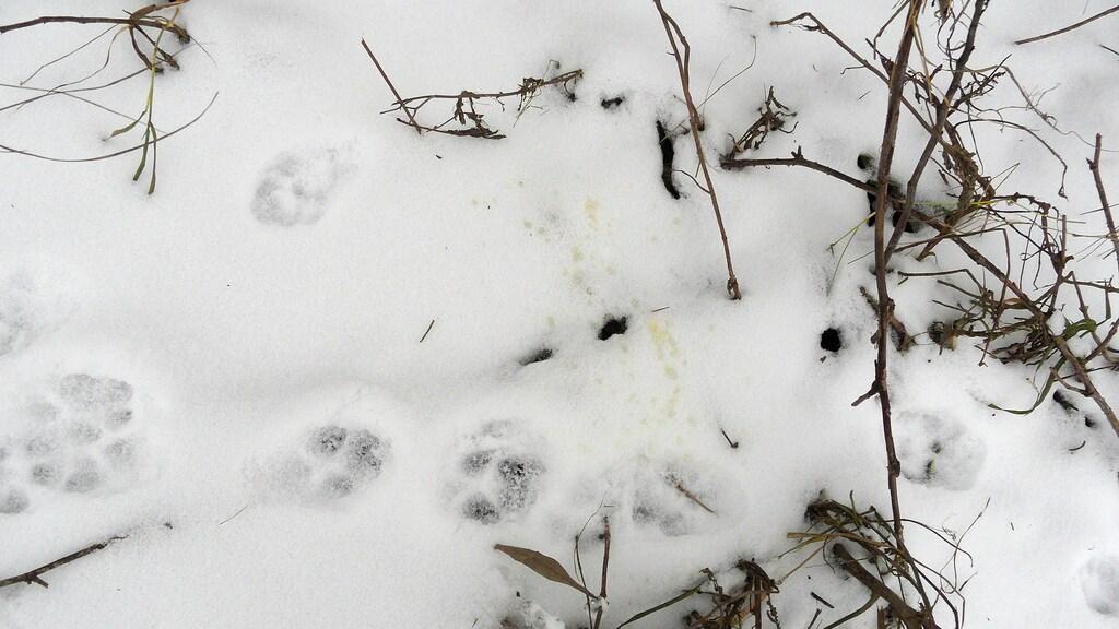 Een vos heeft een plasje gedaan in de sneeuw.