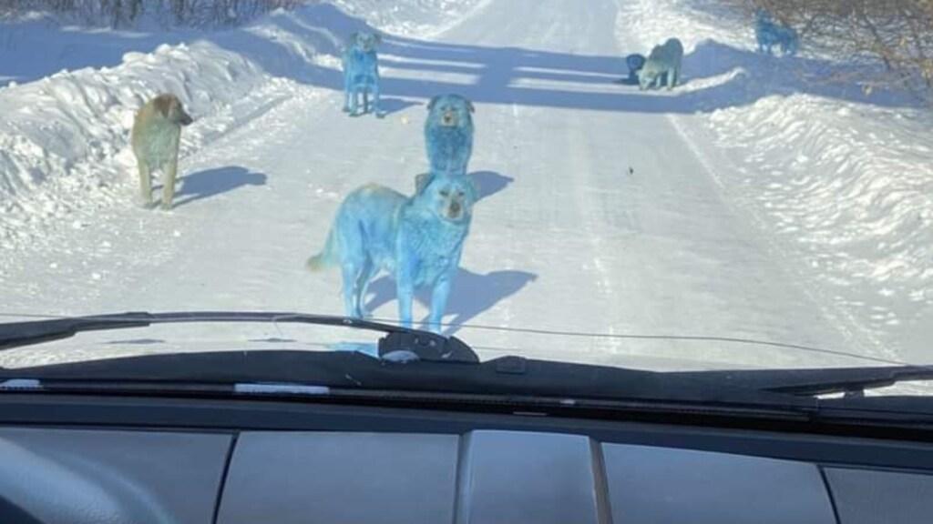 Meerdere van de blauwe honden op de weg.