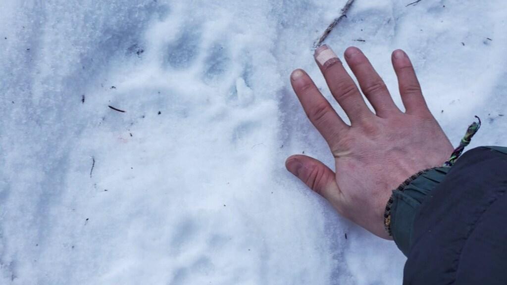 De gevonden berensporen.