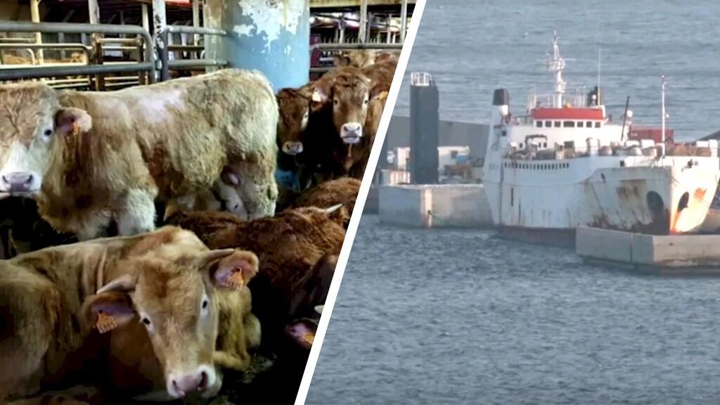 Nog een schip met levend vee: De Karim Allah ligt in de haven van Cartagena in Spanje