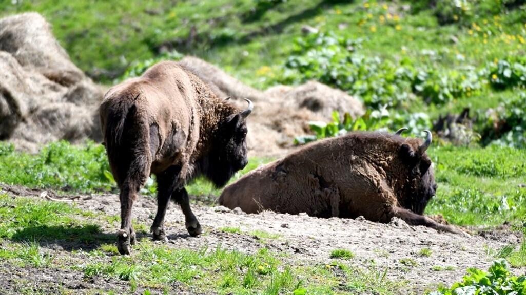 Het woud is het thuis van de Europese bizon.