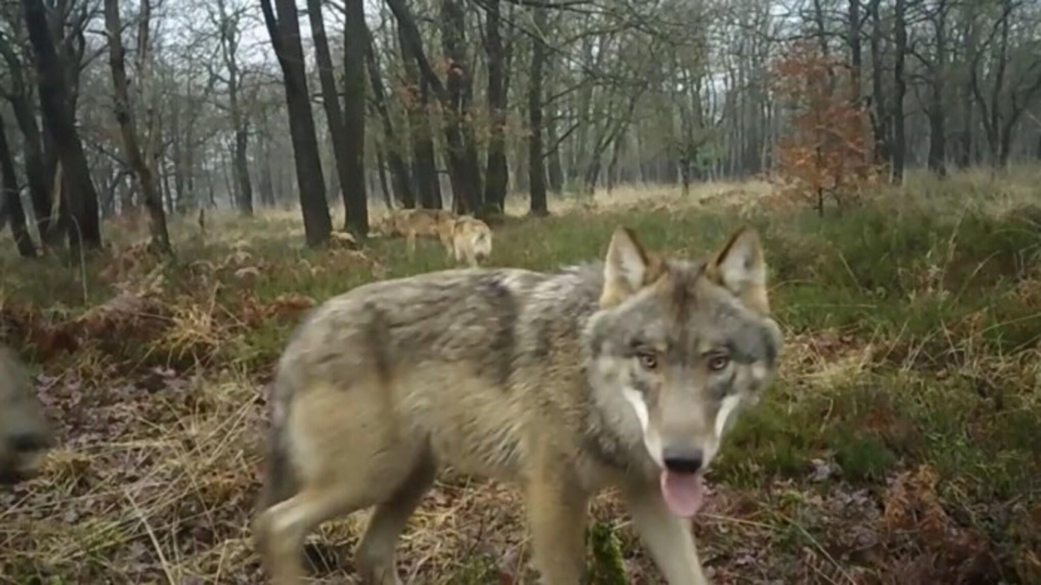 Doodgevonden wolf bij Stroe blijkt te zijn doodgeschoten