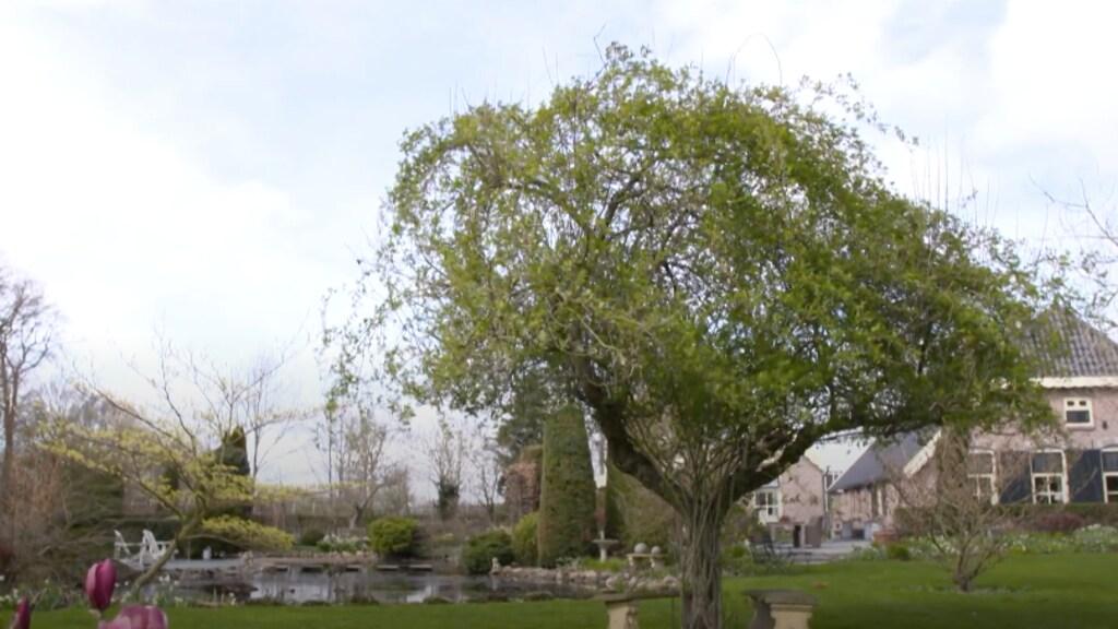 Oude appelboom met ramblerroos