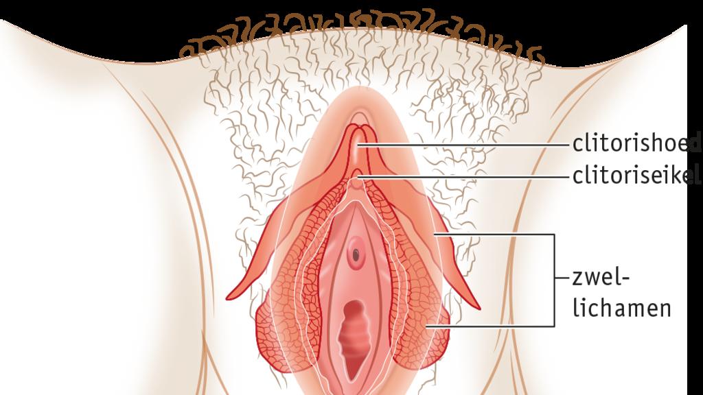 De clitoris is meer dan een knopje. De eikel van de clitoris zit bovenaan de vulva. De zwellichamen liggen onder de schaamlippen. (© Uitgeverij Malmberg)