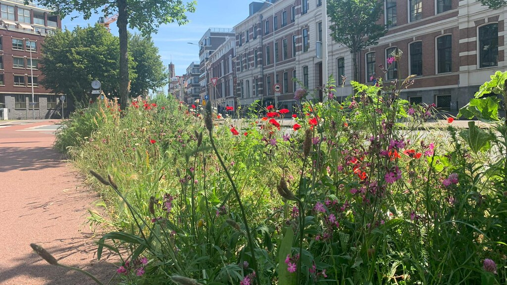 De bermen in Den Haag bloeien volop