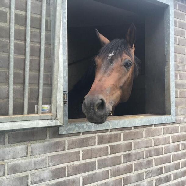 Een van de paarden die Gonnie heeft opgevangen op haar stal