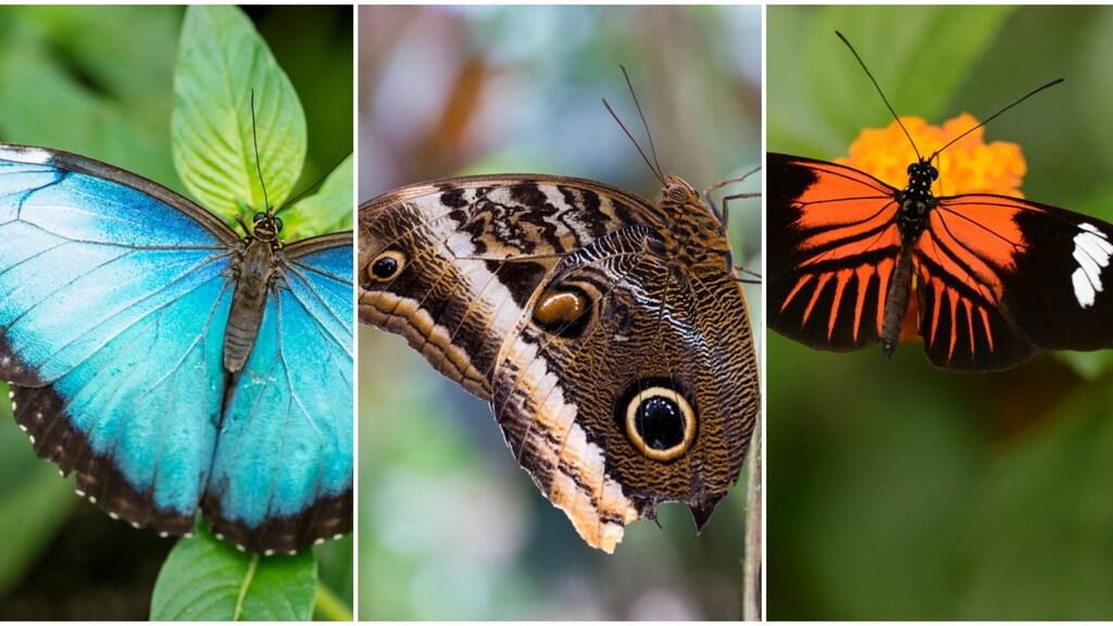 De populaire soorten: de Blauwe Morpho, Uilvlinder en Heliconius