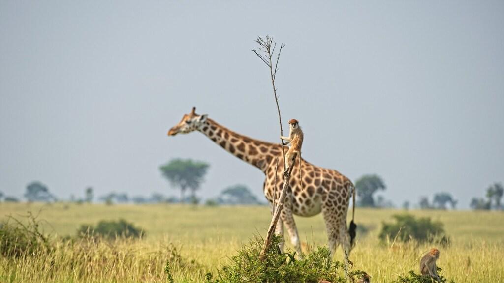 Aapje klimt in een tak, terwijl een giraf voorbij komt lopen.
