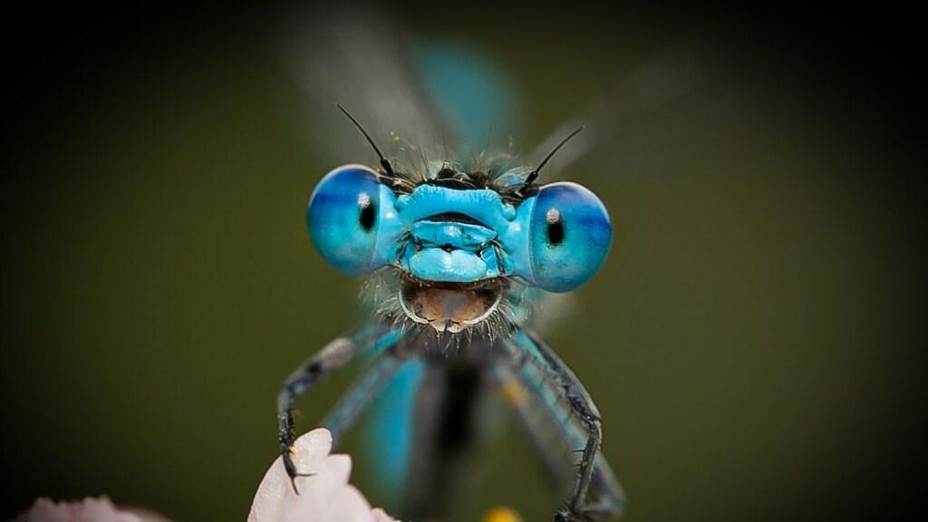 Een libelle die lacht naar de camera.
