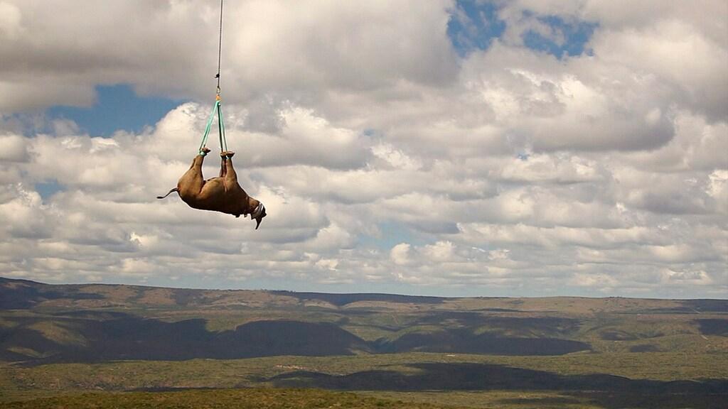Neushoorn hangend aan een helikopter