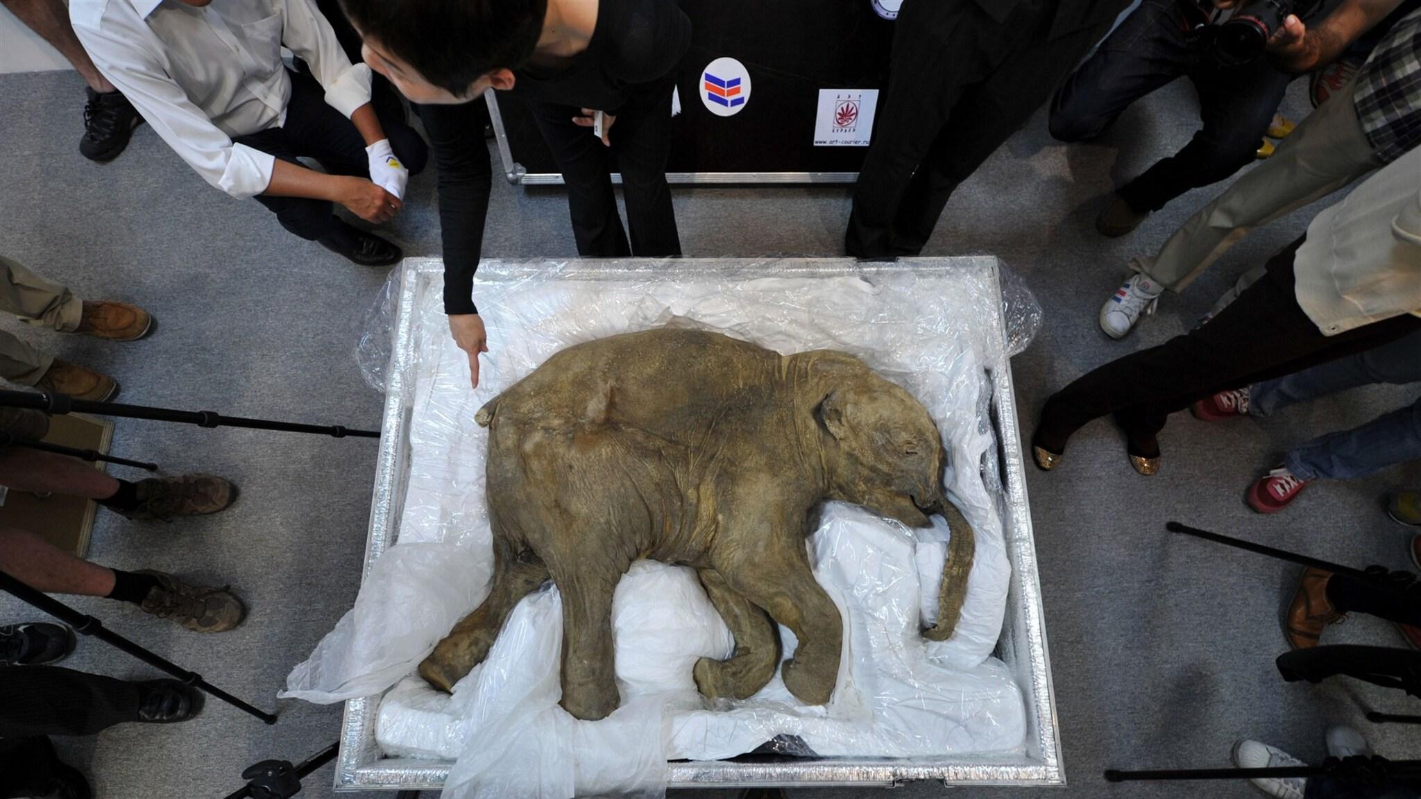 Bedrijf wil uitgestorven wolharige mammoet weer tot leven wekken