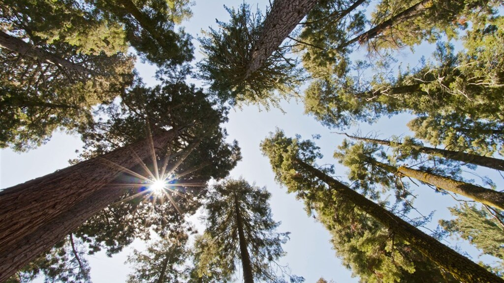Zo staan de imposante sequoia's er normaal gesproken bij in Californië.