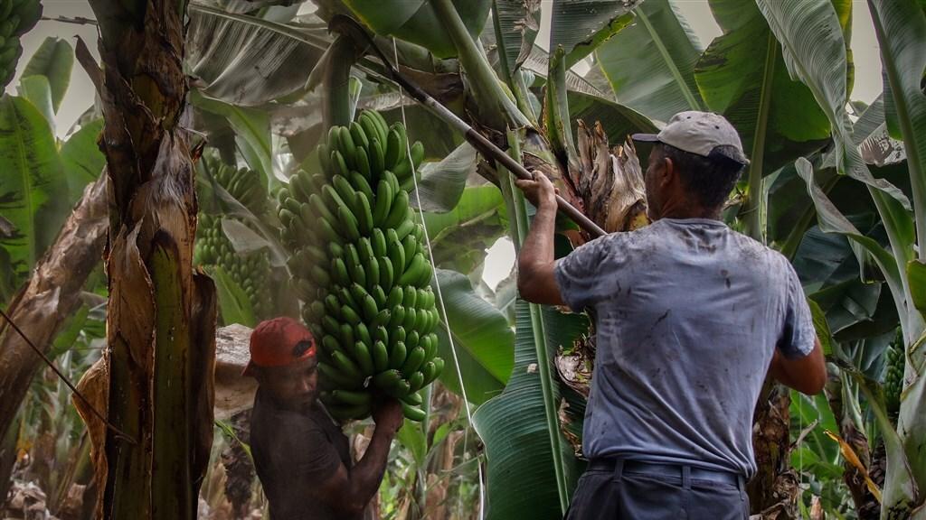 Boeren op La Palma plukken uit voorzorg bananen in afwachting van de lava