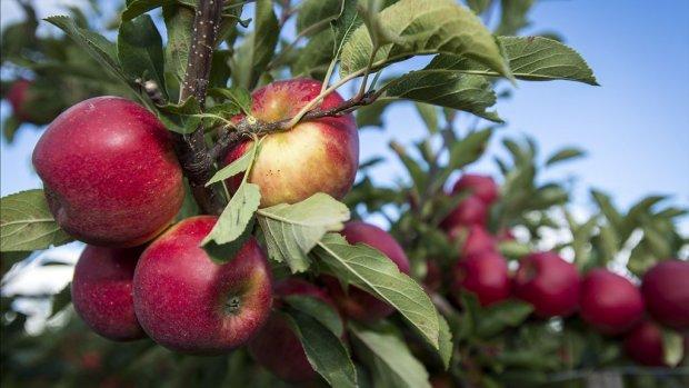 'Tientallen miljoenen vorstschade fruitteelt'