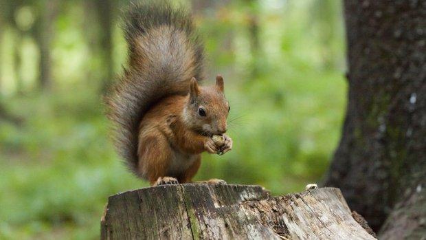 Eekhoorns negeren peperdure Haagse eekhoornbrug