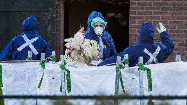 Vogelgriep Barneveld: geen nieuwe maatregelen meer nodig