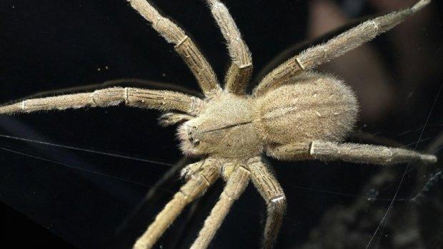Hoe gevaarlijk is de spin die in Rijnsburg rondkruipt?
