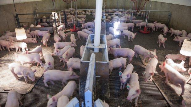 Meer varkenshouders willen hun bedrijf laten opkopen dan er geld is