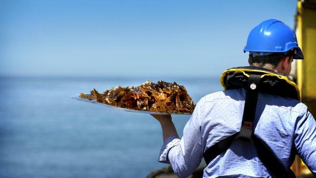 We zijn klaar voor grootschalige energiewinning uit zeewier