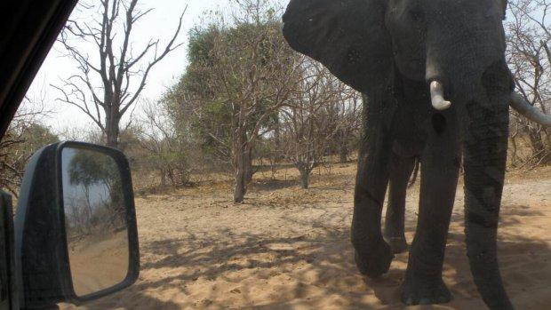 Afschieten of niet? 'Olifantenplaag' in Botswana