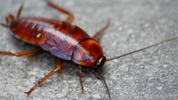 Robotkakkerlak moet levens redden