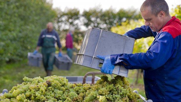 'Nederlandse wijn steeds beter van kwaliteit'