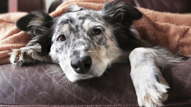 'Ik kan niet werken want mijn hond is ziek', wat moet je doen?