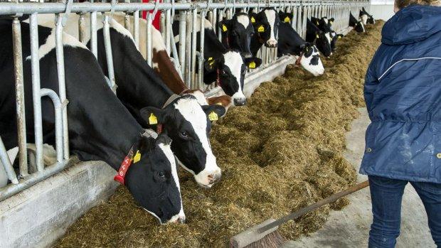 2100 boerderijen geblokkeerd vanwege fraude met melkkoeien