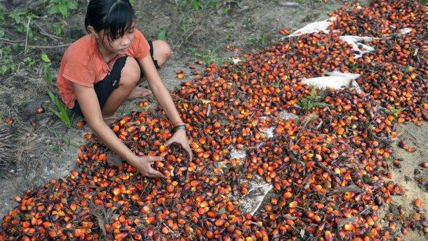 'Duurzame palmolie helemaal niet zo duurzaam'