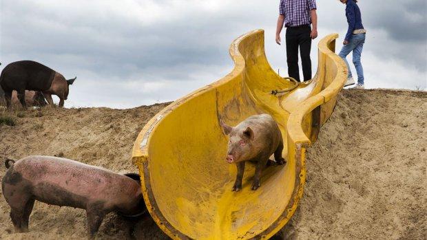 Steeds minder boeren met steeds meer vee: van 7 naar 1600 varkens